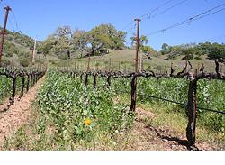 Vingård i Californien där man använder skyddsgröda mellan vinraderna, som klöver och andra grässorter, för att ge jorden mer näring.