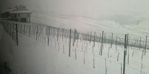 Snötäckta vinstockar i Asti