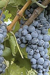Saint Laurent grape
