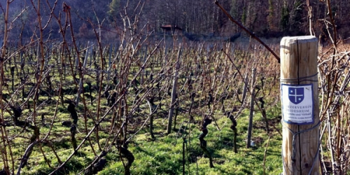 Vines with old canes, unpruned