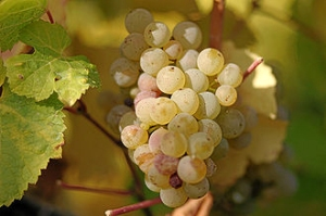 Riesling grape © Photographer: Tom Maack