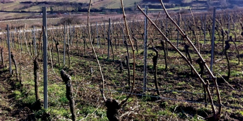 Pruned vines with two canes left on
