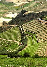 Vingård i Portugal