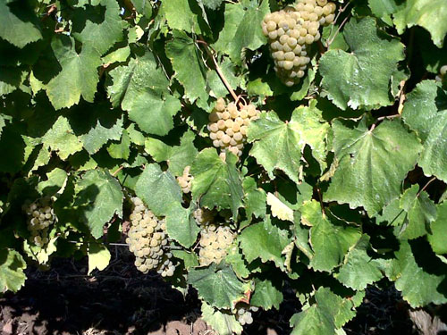 Alvarinho-grape