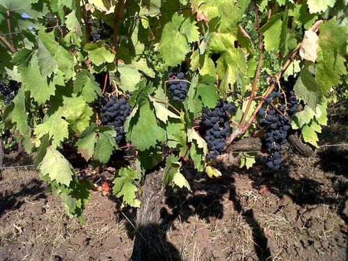 TintaRoriz-grapes