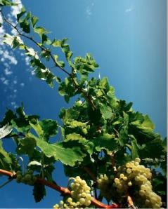 Recaredo biodynamisk vinodling